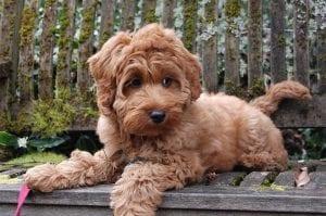 mezcla entre un Labrador Retriever y un Poodle Australiano