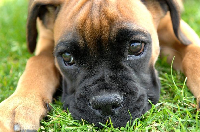 Cachorro joven de la raza Bóxer