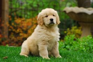 Cachorro de Golden retriever sentado