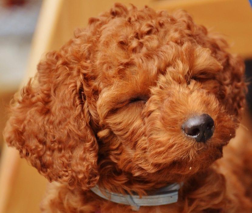 Cachorro de la raza Poodle