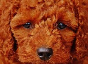 Caniche de pelo marrón