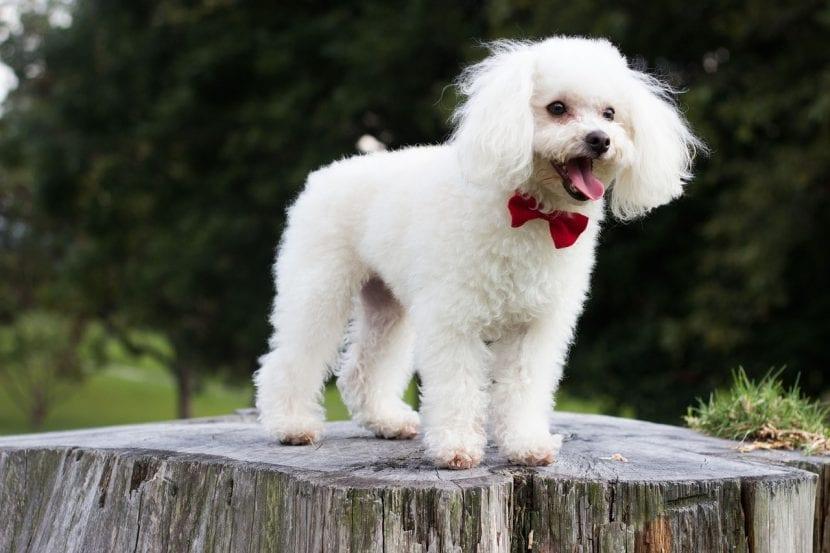 Perro caniche de pelo blanco