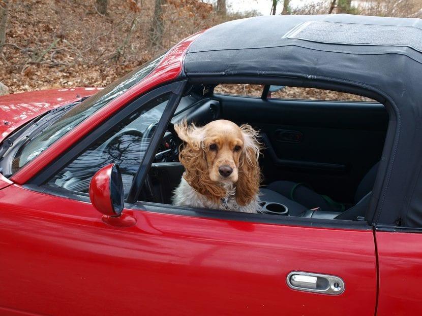 Cocker en un coche