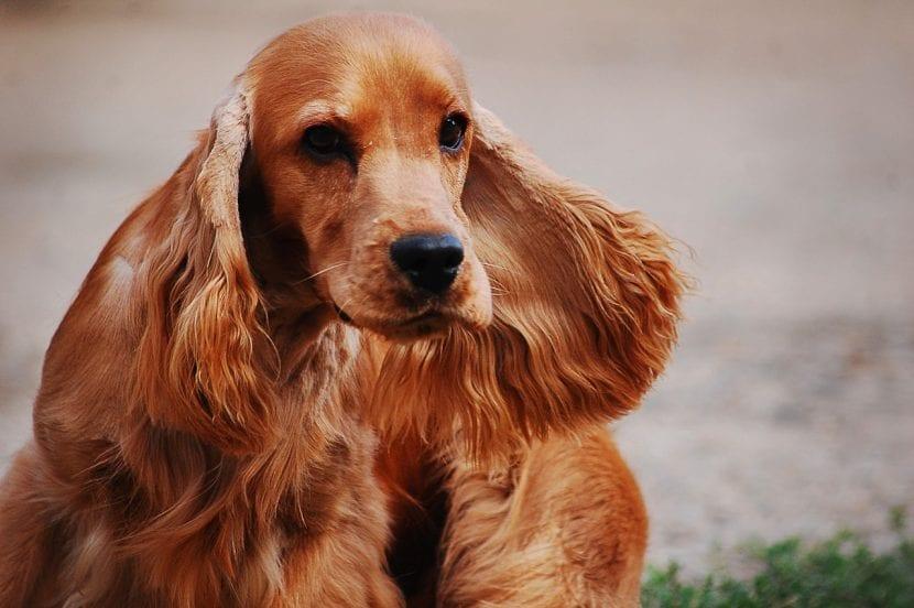 Perro de la raza Cocker Spaniel inglés