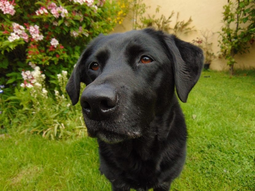 Perro de la raza labrador