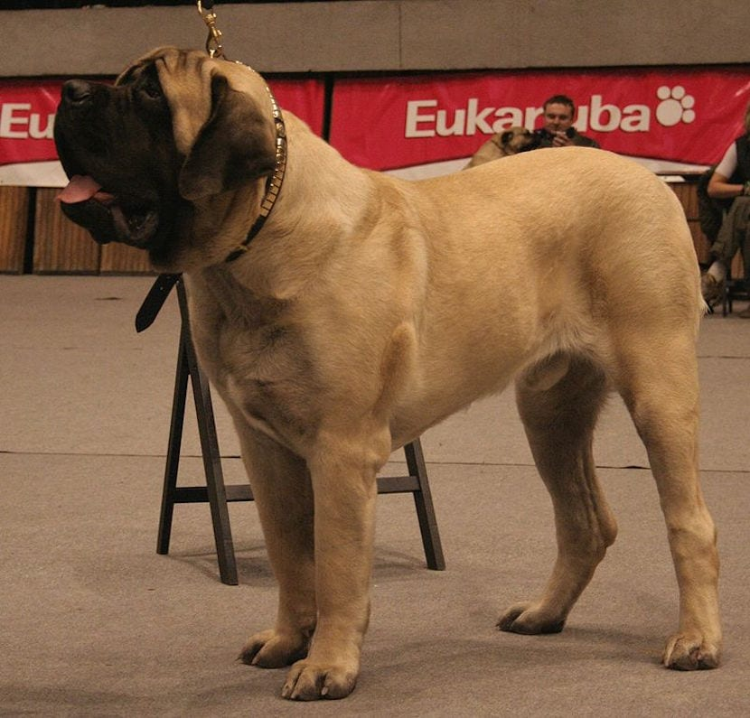 mastin ingles perro