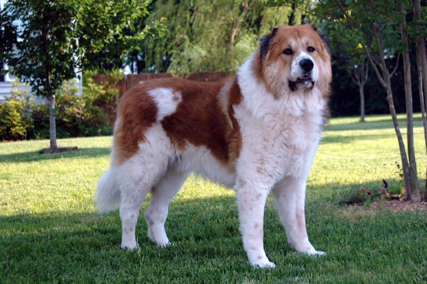 pastor caucasico perro