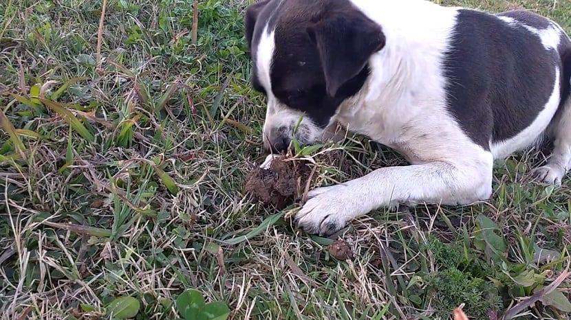 perro comiendo tierra
