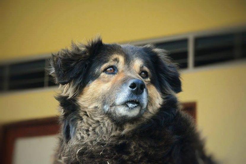 Perro de raza peruana