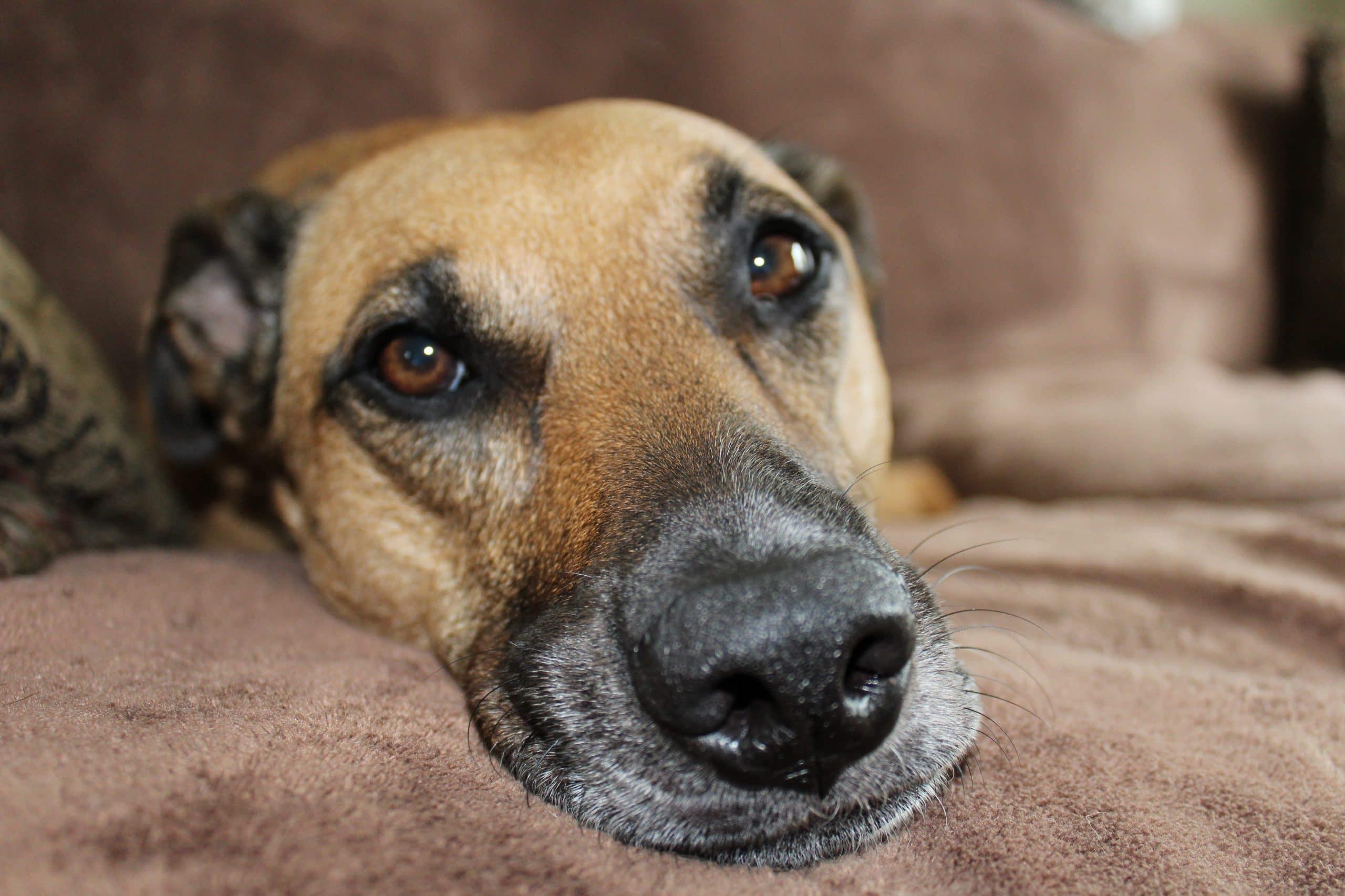 Perro adoptado descansando