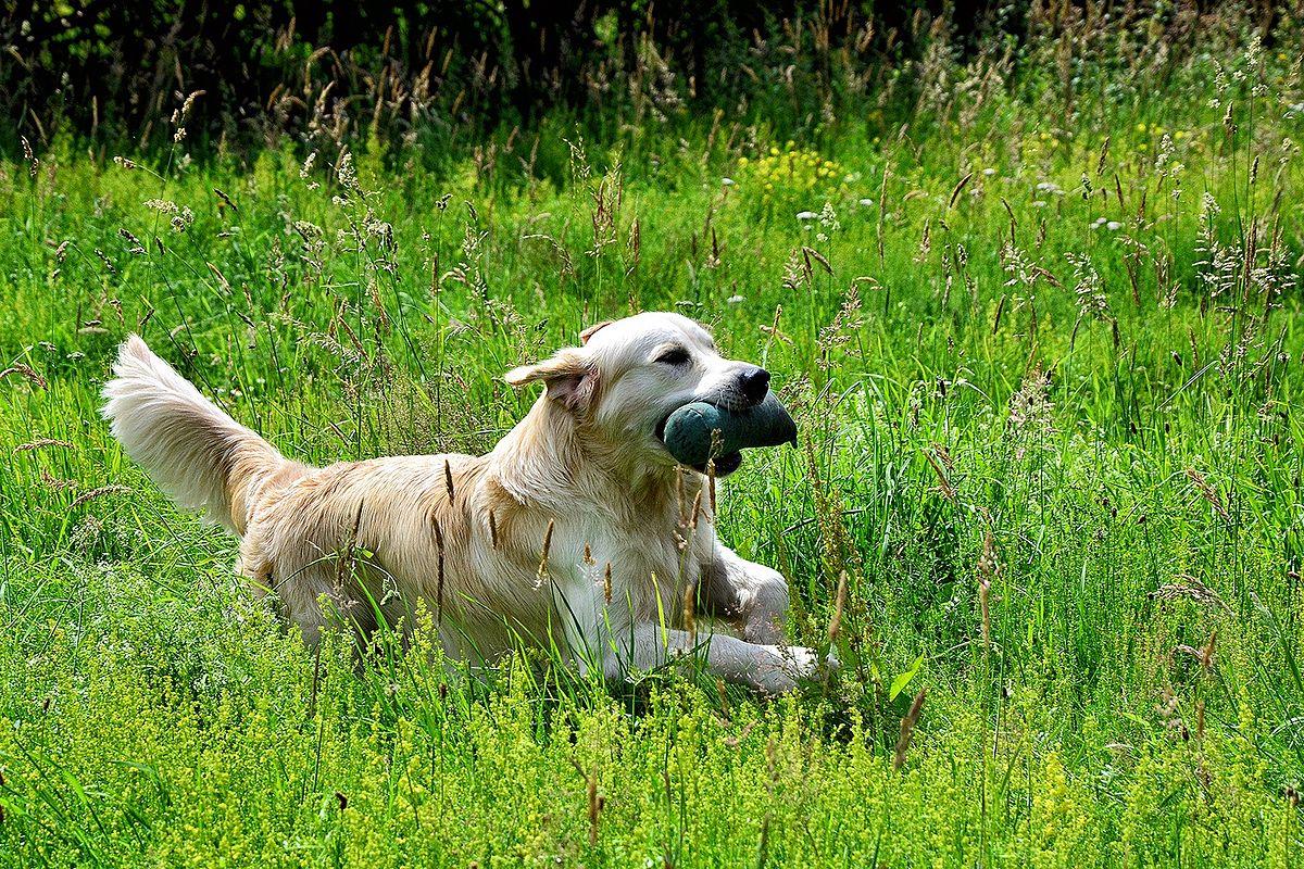 El golden retriever es un perro muy inteligente