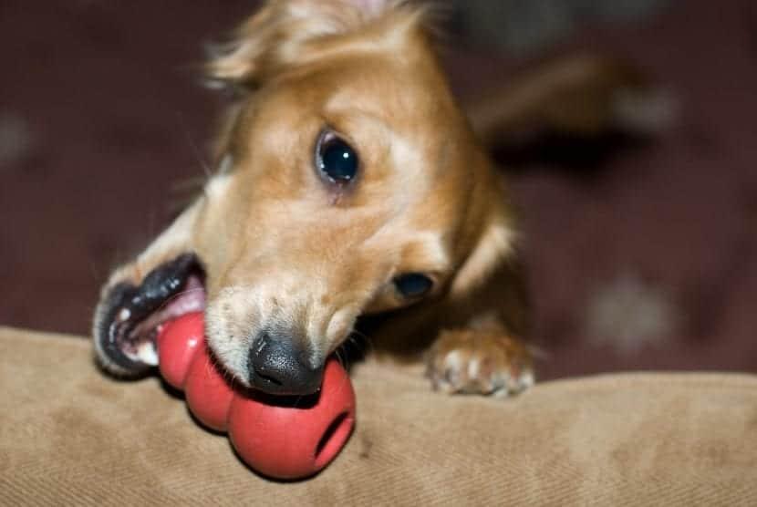 Perro con un juguete de Kong