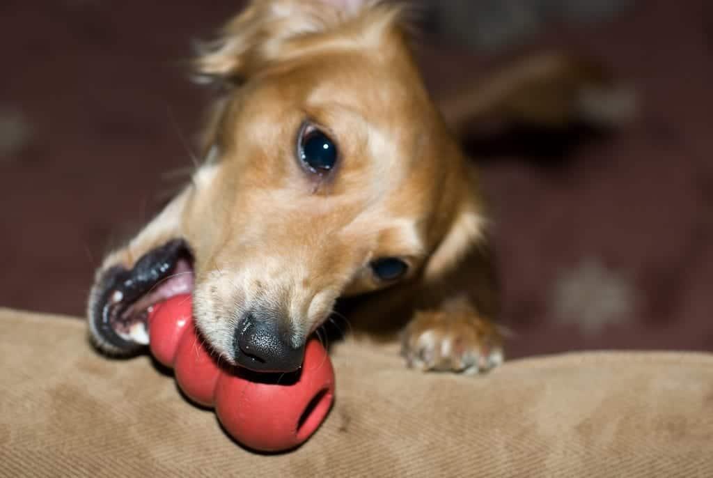 Câine cu o jucărie Kong