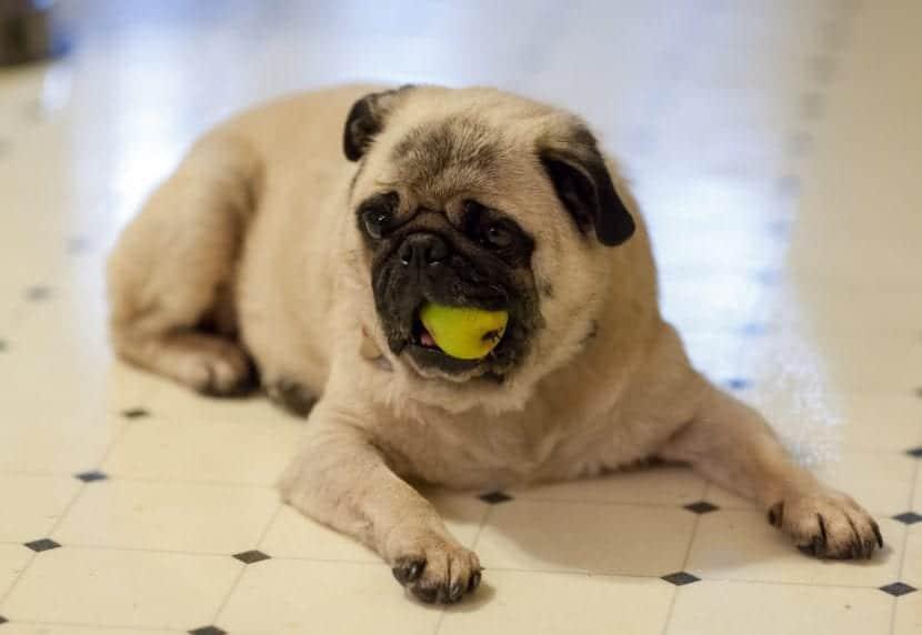 Perro comiendo una manzana