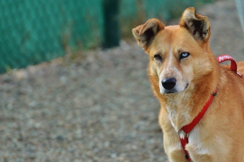 Perro con ojos de distinto color