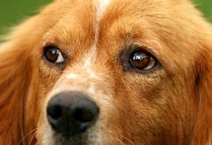 Perro con ojos sanos