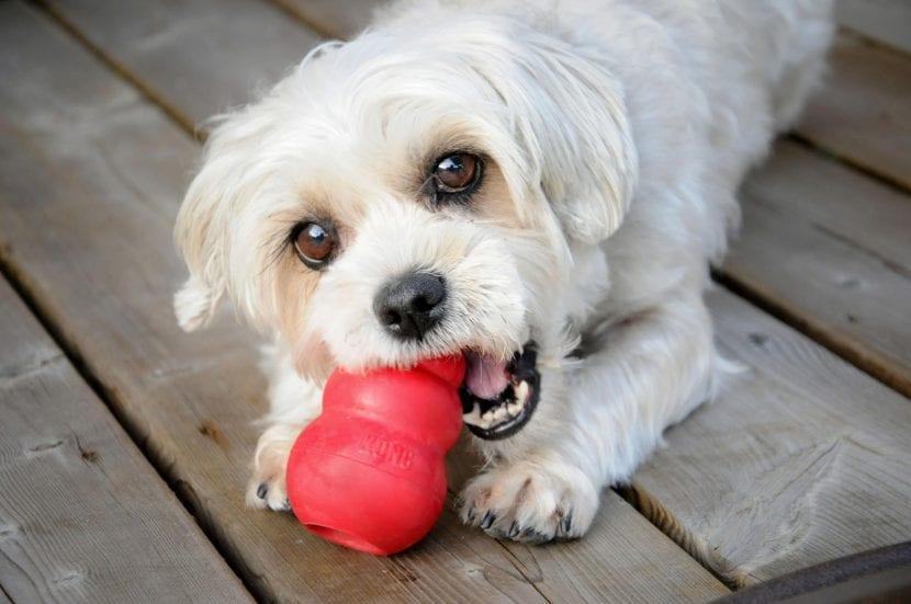 Perro con un juguete Kong