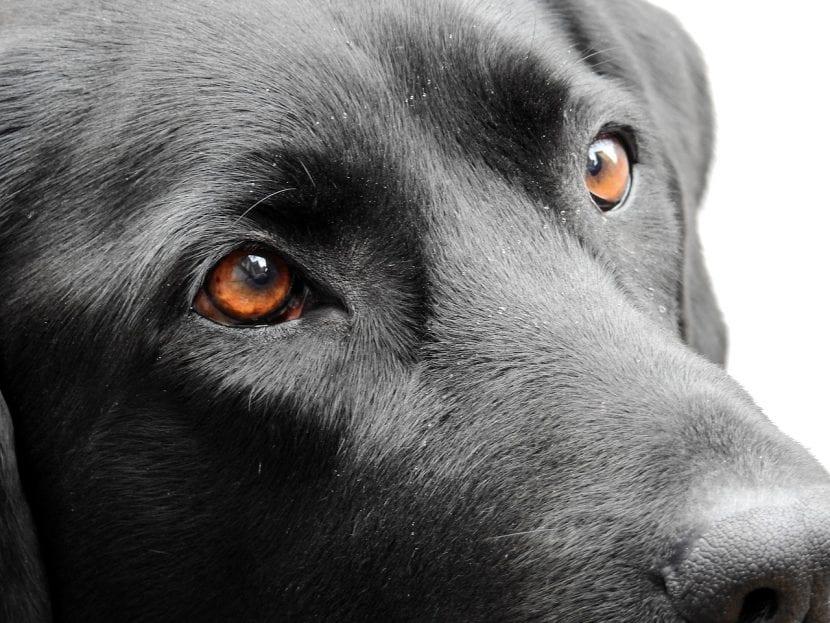 Perro de pelo negro adulto
