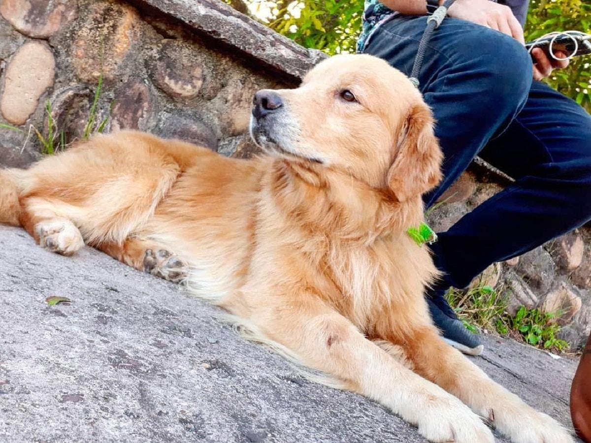 El Golden retriever es un perro inteligente