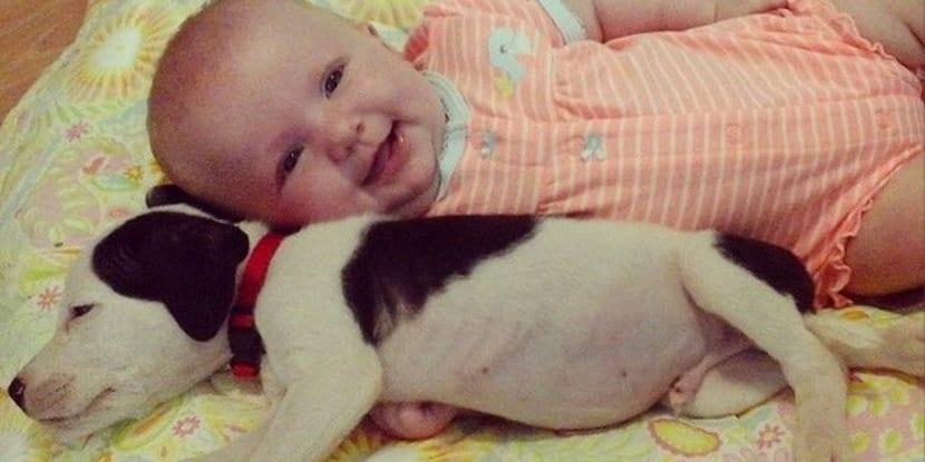 pitbull-bebe