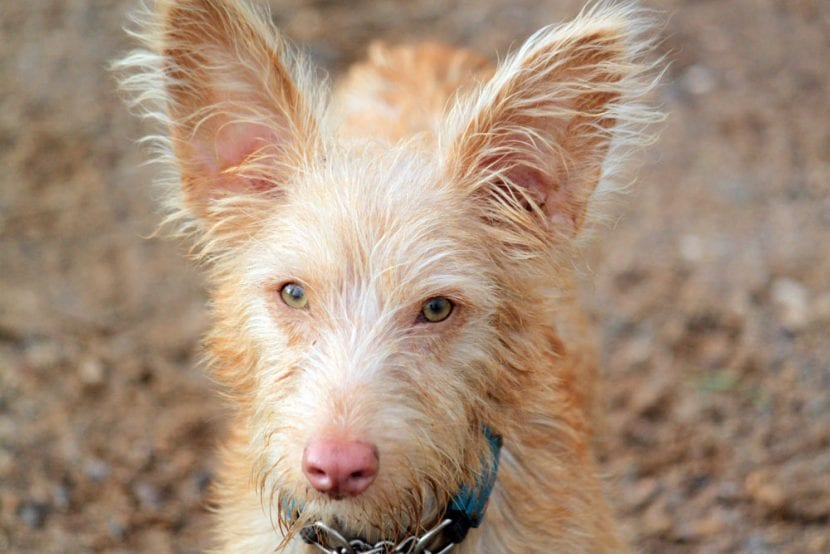 Perro de la raza Podenco portugués
