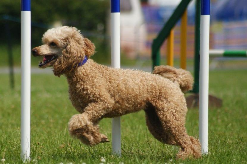 Perro poodle mediano practicando agility