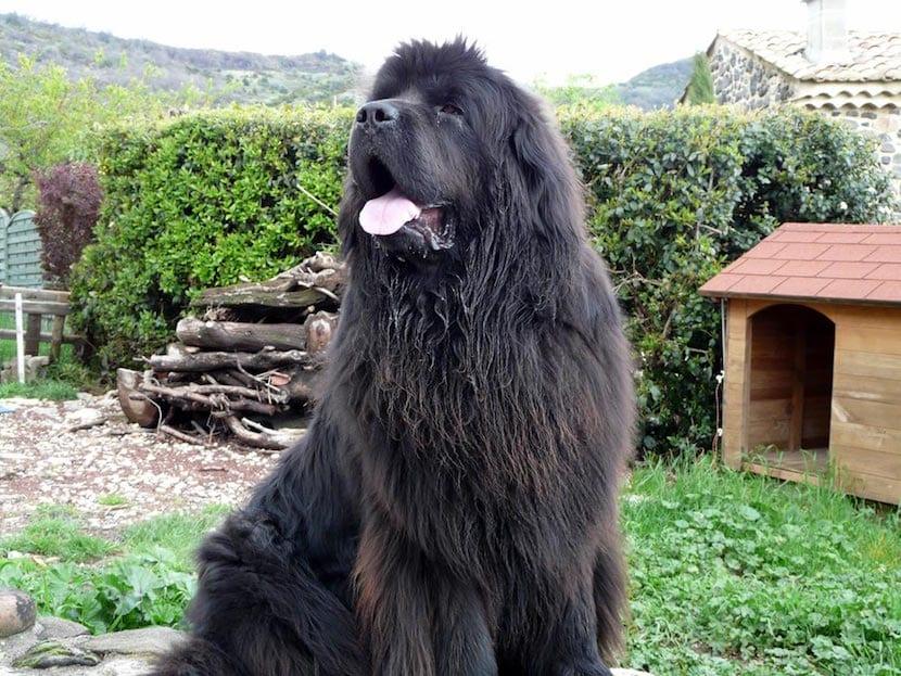 terranova perro raza grande