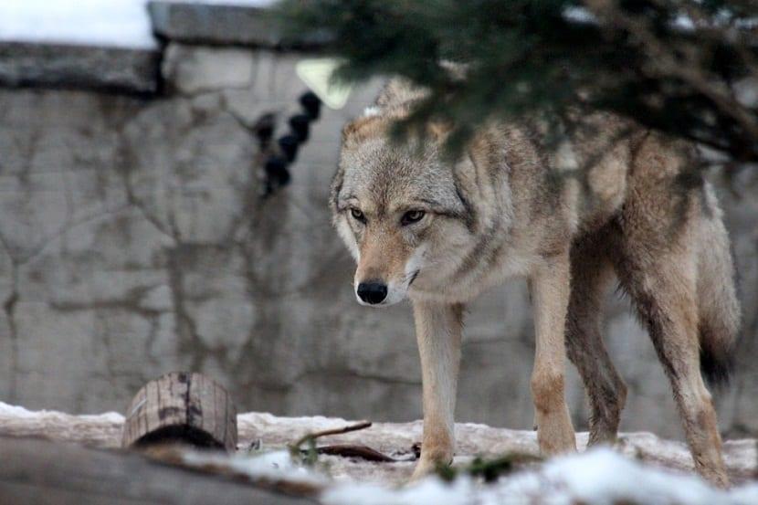 caracteristicas lobo gris