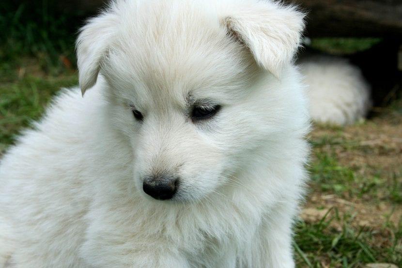 Precioso cachorro de Samoyedo