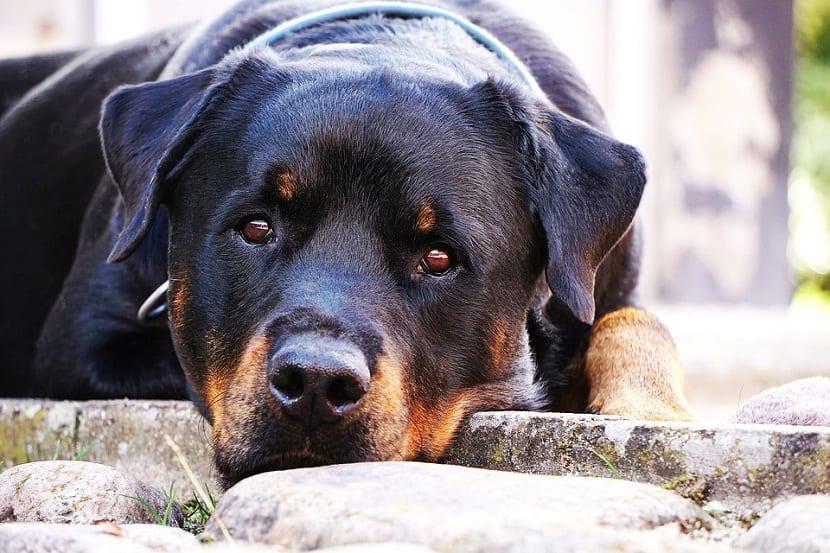 rottweiler es una raza que proviene de Alemania