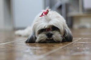 Esta es una raza de perro nativa de China