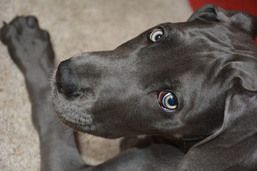 Cachorro de Gran Danés