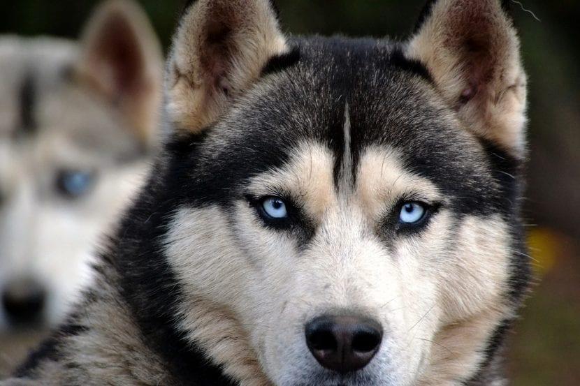 Preciosa mirada de Husky Siberiano