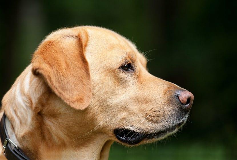 Labrador adulto de pelo marrón