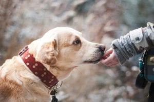 Labrador y persona