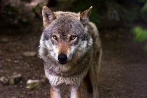 l lobo gris es el ancestro directo del perro