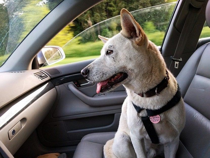 Perro dentro de un coche