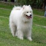 Perro adulto de la raza Samoyedo