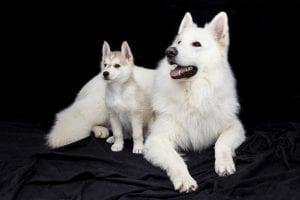 Samoyedo con Husky feliz