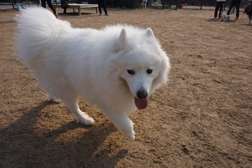 Samoyedo en una exposición canina