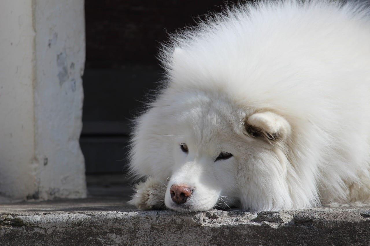 Samoyedo tumbado sobre el suelo