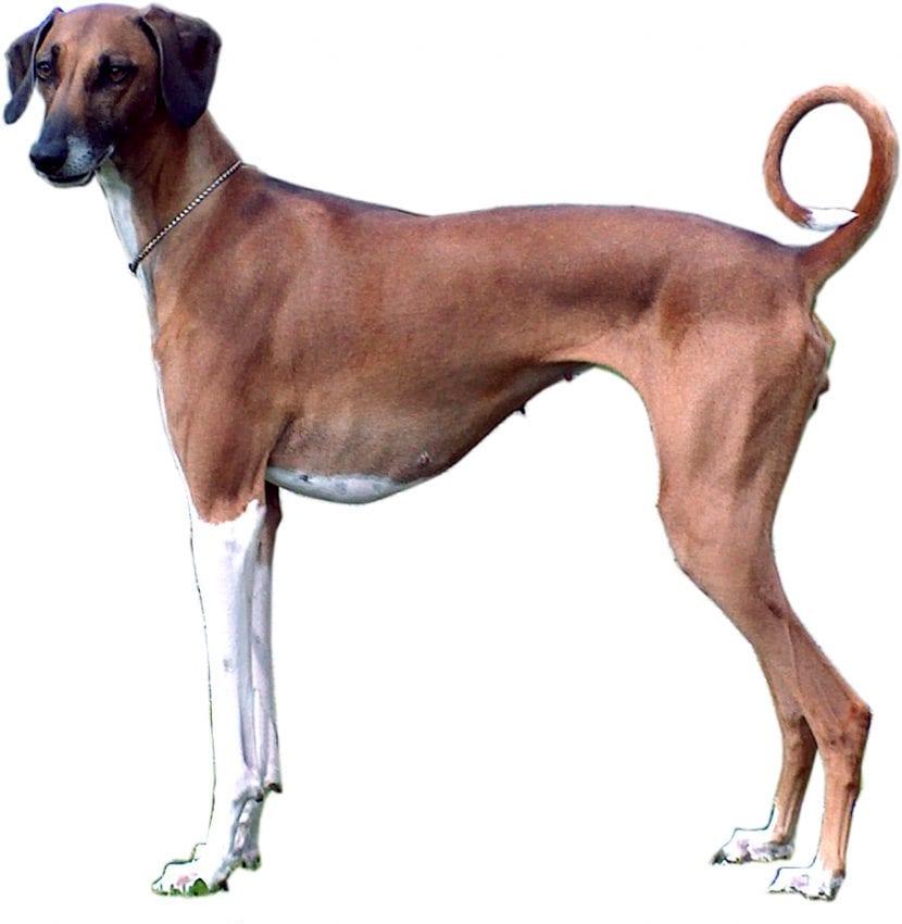 Ejemplar adulto de la raza de perros Azawakh