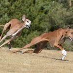 Dos perros Azawakh corriendo en el campo