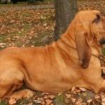 Perro de la raza Bloodhound tumbado