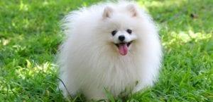 Pomerania blanco en el campo.