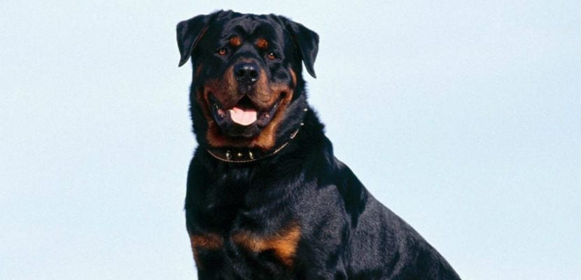 Rottweiler adulto.