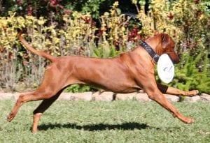 origen del perro crestado rodesiano