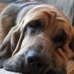 Perro Bloodhound durmiendo