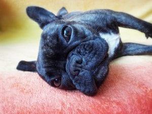 Perro Bulldog francés negro