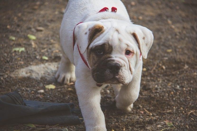 comportamiento compulsivo en perros